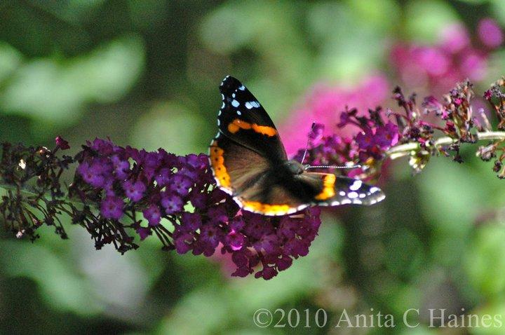 butterfly_www.stampwithanita.com